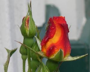 rose bud 2