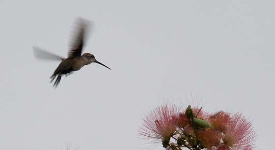 Random Himmingbird