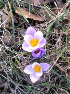 Crocuses - Harbinger of Spring