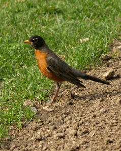 Mr. Robin Announces Springtime in NJ