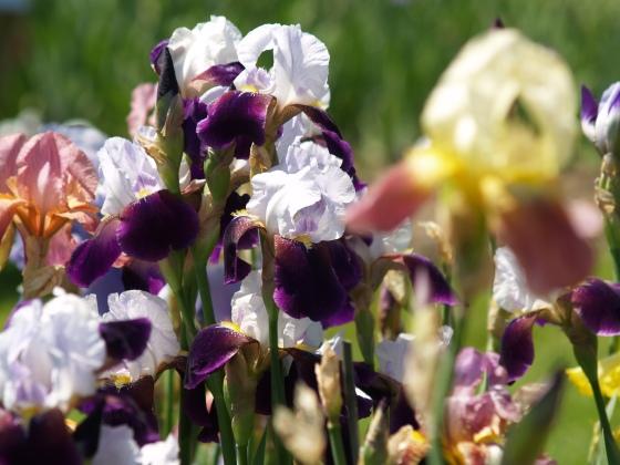 Irises from Presby Memorial Iris Garden